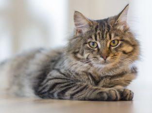 گربه تاشو اسکاتلندی