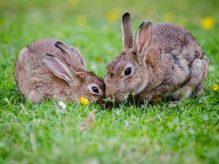 خرگوش های کوچک لوپ